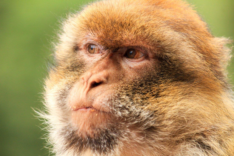 Macacos de berberia, en lo alto de Marruecos.