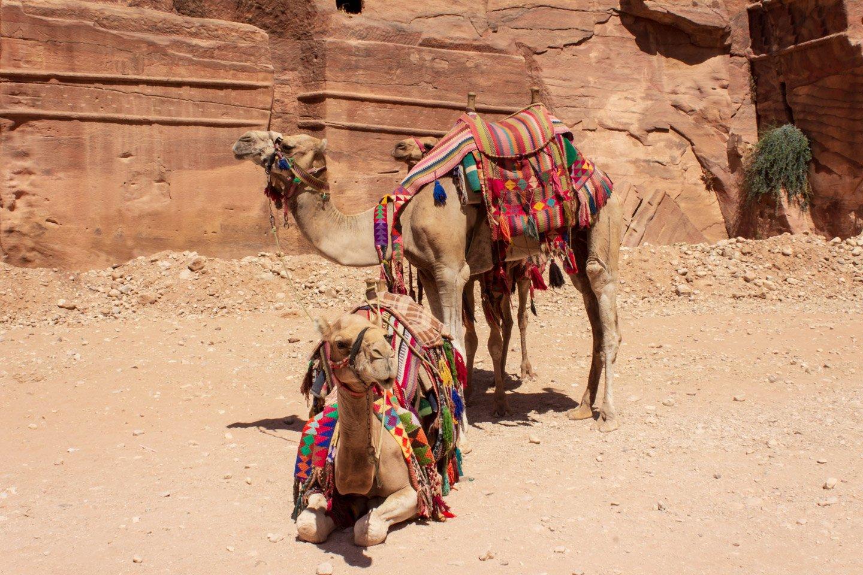 Camellos en Petra, Jordania.