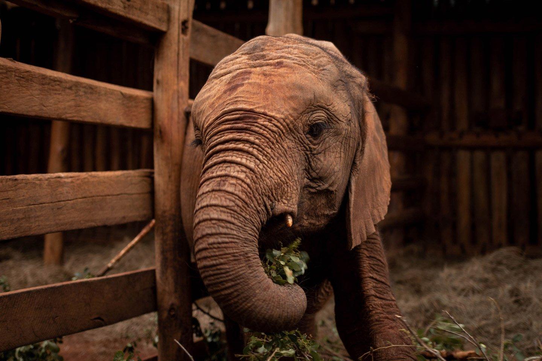 Elefantes en el David Sheldrick's Wildlife Trust