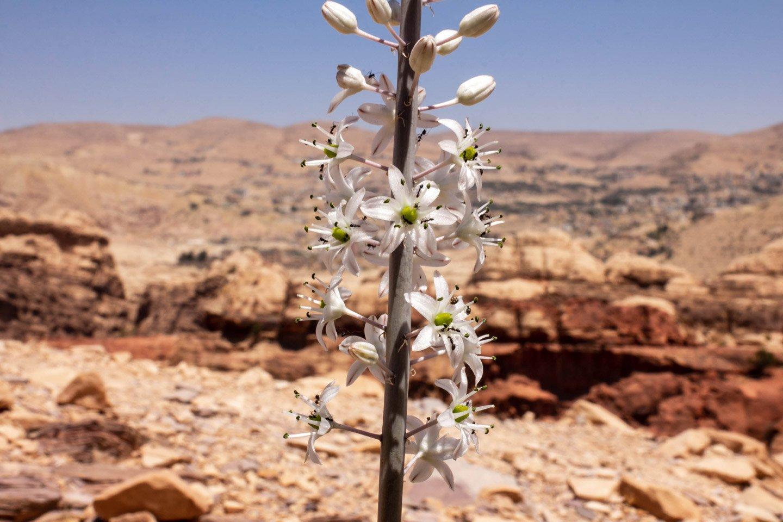 Flora en Petra, Jordania.