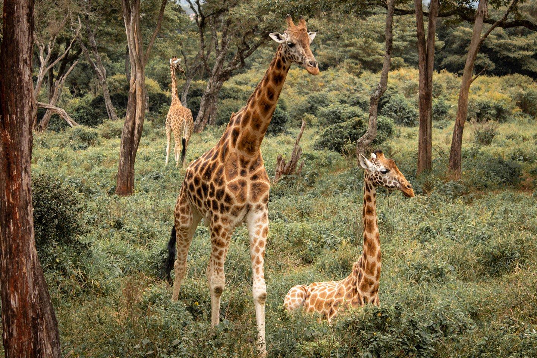 Jirafas Rotschild en el Giraffe Center, Nairobi.